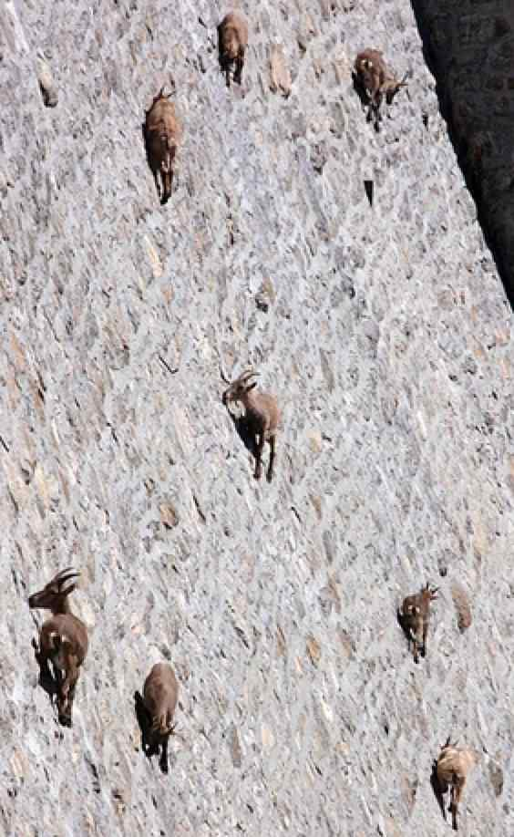 zoomed in view showing deer easily navigating stone wall